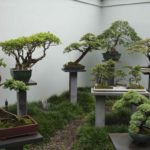 Выращивание бонсай