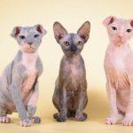Заработок на разведении кошек
